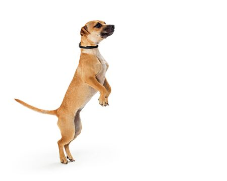 Cute mixed small breed dog facing side standing up on hind legs dancing or begging