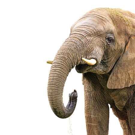 An African elephant uses his trunk to toss water into his mouth, isolated against white studio background.