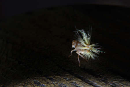 This strange creature is no larger than 5 mm but jumps to more than 1 m in height.