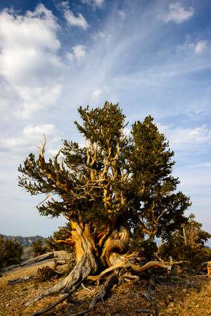 seres vivos: El Pino erizo son los seres vivos más antiguos de la tierra. Algunos son conocidos por ser más viejo que incluso los romanos. Las montañas blancas en California tiene unos bosques de estos pinos.