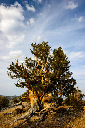 sierras: The Bristlecone Pine is the oldest living beings on earth. Some are known to be older than even the Romans. The White Mountains in California has a few groves of these pines.