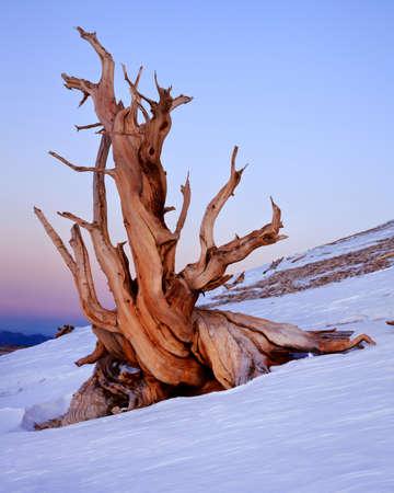 Ancient Bristlecone Pine, California Stock Photo