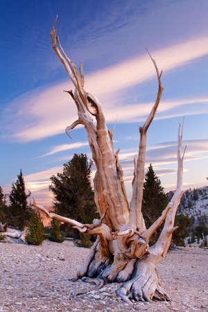 sierras: Ancient Bristlecone Pine, California Stock Photo