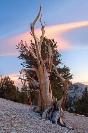 lenticular: Ancient Bristlecone Pine, California Stock Photo