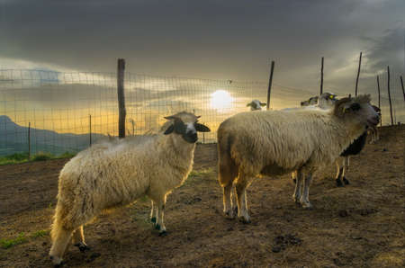 Carpathian Sheep and Farm