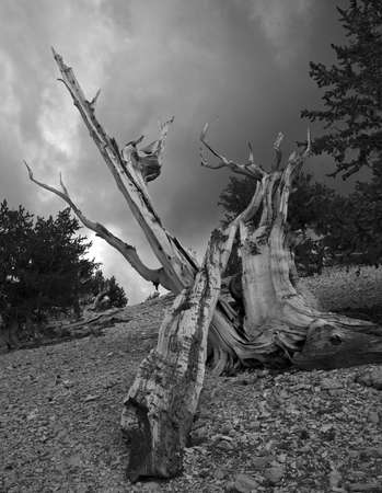 seres vivos: The Bristlecone Pine is the oldest living beings on earth. Some are known to be older than even the Romans. The White Mountains in California has a few groves of these pines.