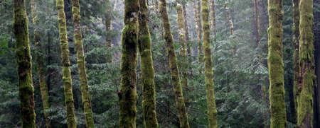 sierras: California Forest Redwood Scene