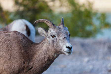 Goats in Banff, Alberta Stock Photo