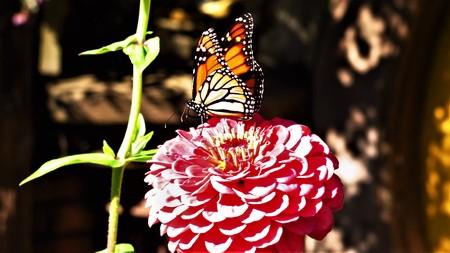Butterfly on flower, New Zealand Stock Photo