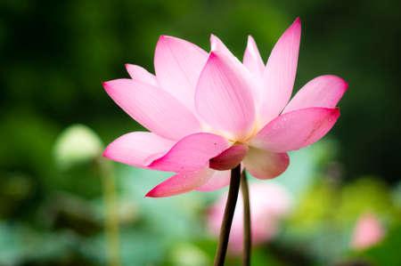 limbo: Lotus