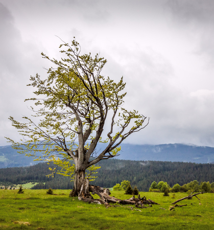 A broken broad-leaved tree on the hill in Sumava Stock Photo