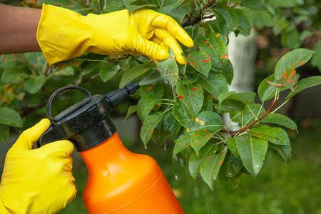 Pear leaves in red dot. Gardener sprinkles diseased tree leaves  against the fungus and pests.