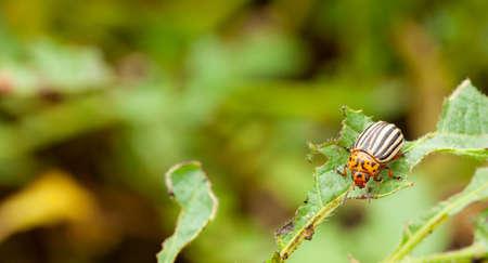 Colorado potato beetle eating a leaf. Copy space for text Banque d'images