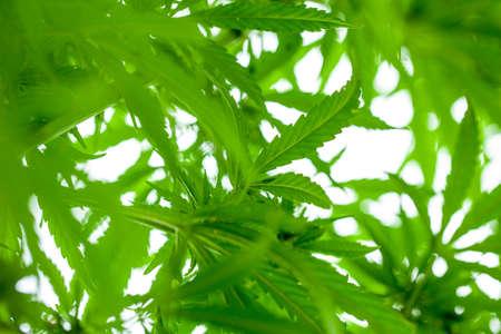 Cannabis bush close up. Drugs or medical marijuana Banco de Imagens