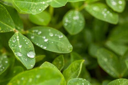 Green peanut leaves with dew drops close-up. Banco de Imagens