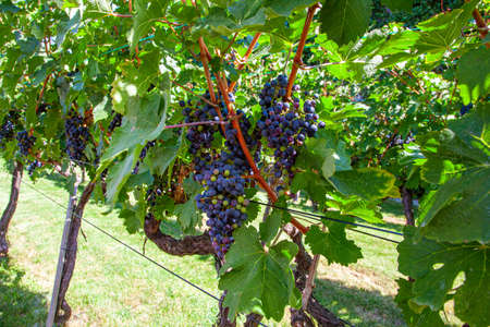 Vineyards on the field. Grapes with vine and leaves in sunny weather 版權商用圖片