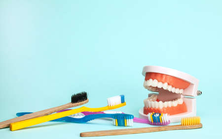 Jaw model and toothbrushes. The concept of how to properly brush your teeth or how to choose a toothbrush Stock Photo