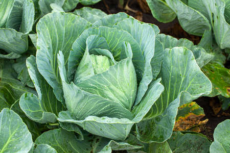 Green cabbage with open leaves in the garden.