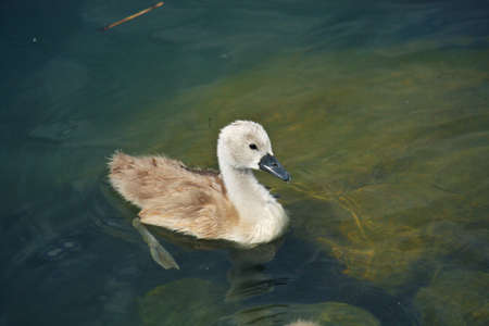 little swan in the lake photo