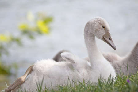 little swan in grass photo