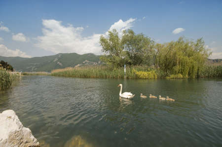 family swans in the lake photo