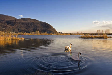 swans in the lake at sunset photo
