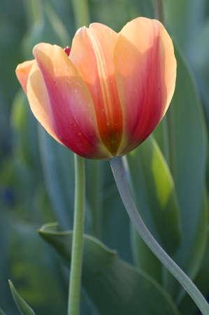 tulips in spring Stock Photo - 13140041