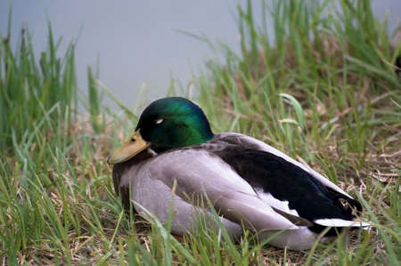 Mallard in the grass photo