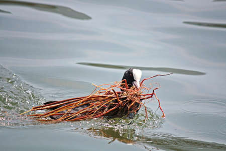 coot: coot prepares the nest