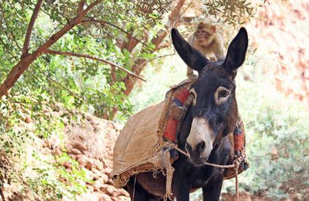 marocco: monkey on a donkey Stock Photo