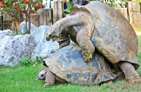 Giant tortoise that mate Stock Photo - 13521295