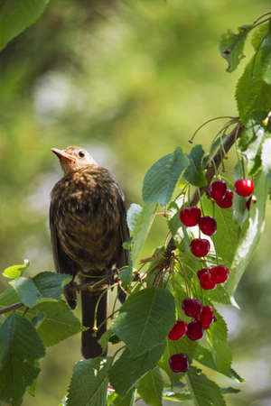 blackbird eats cherries photo