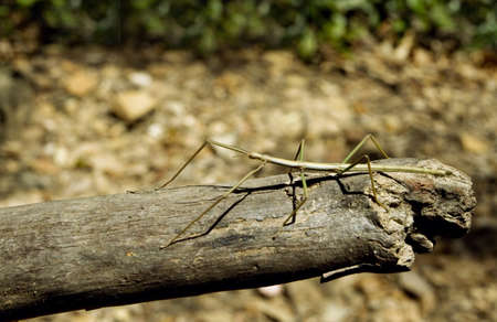 mimetism: Stick Insect Stock Photo