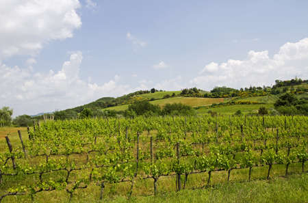 vineyard in Tuscany photo