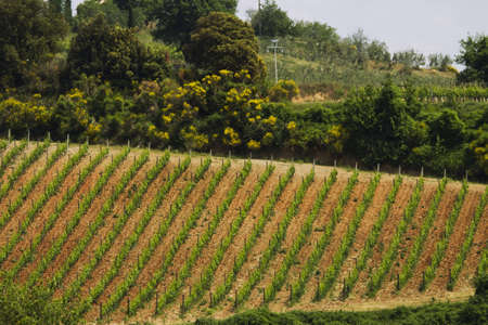 vineyard plain: vineyard in Tuscany