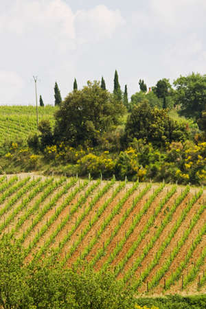 vineyard plain: Tuscany images