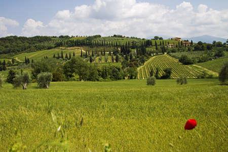 vineyard plain: Tuscany landscape Stock Photo