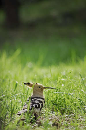 hoopoe in the grass photo