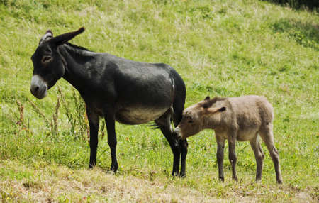 baby ass: little donkey with mum