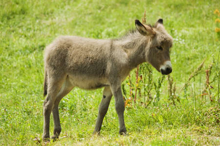 grey little donkey photo