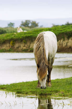 Camargue horse on the river photo