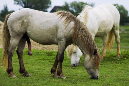 Camargue horse in love photo