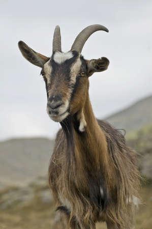 goats grazing Standard-Bild