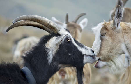 goats grazing photo