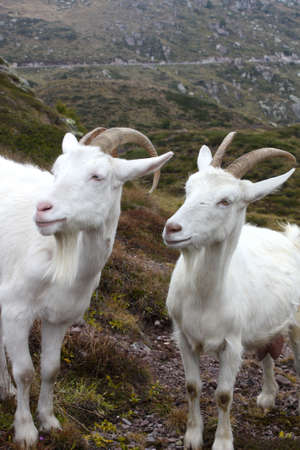 goats in the mountain photo