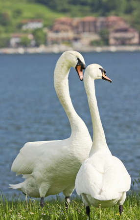 swans in love in the grass Stock Photo - 14295243