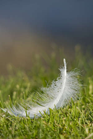feathers of a swan in the lake Stock Photo - 14295230