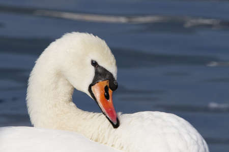 portrait of a swan photo