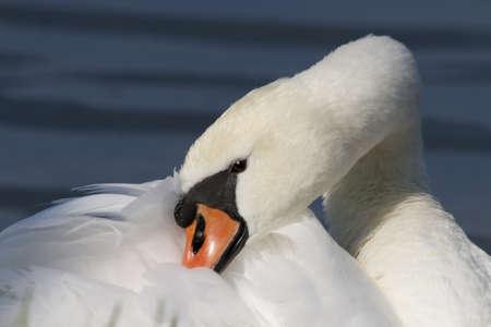 portrait of a swan photo