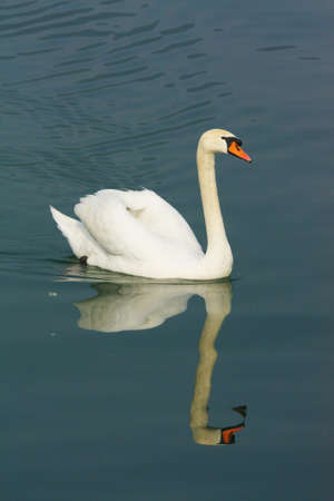 swan in the lake photo